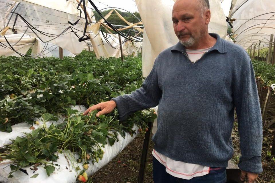 Desastre na fruticultura da Serra Gaúcha