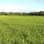 Cenário de precipitação preocupante na agricultura gaúcha