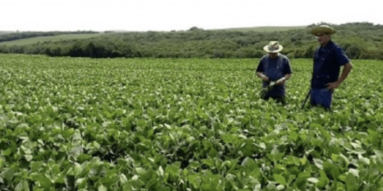 Uma boa notícia para as lavouras de soja do Rio Grande do Sul