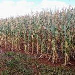 Déficit de chuva é um risco em regiões de milho safrinha neste ano