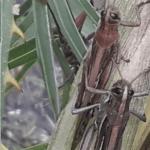 Frio segura o avanço dos gafanhotos na Argentina