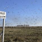 Fumigação, frio e chuva contra os gafanhotos na Argentina
