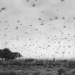 Gafanhotos não se aproximavam do Oeste gaúcho há mais de 70 anos