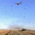 Nova nuvem de gafanhotos é avistada na Argentina
