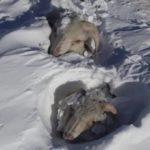 Neve soterra animais no pior inverno em muitos anos na Patagônia