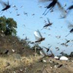 Argentina faz novo alerta sobre gafanhotos a Oeste do Rio Grande do Sul