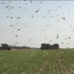 Quase um bilhão de gafanhotos em uma só nuvem no Norte argentino