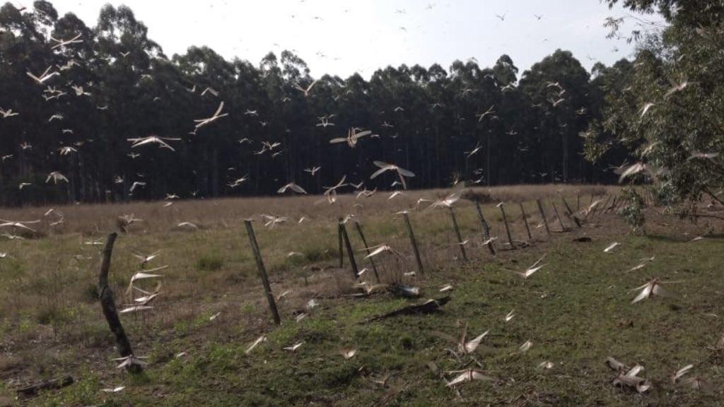 Argentina tem agora uma quarta nuvem de gafanhotos