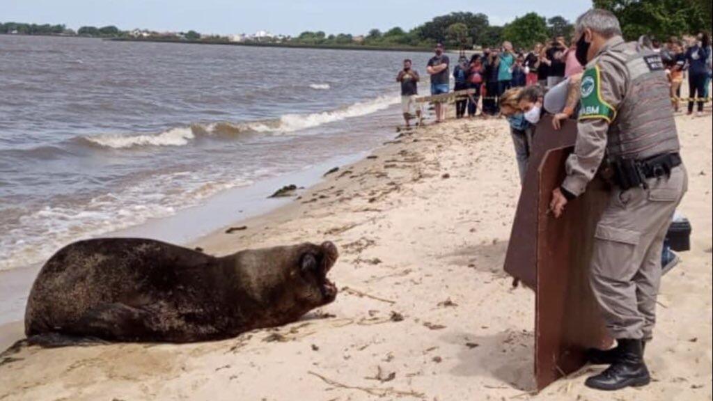 """<span class=""""entry-title-primary"""">Continua a saga do leão marinho na Lagoa dos Patos</span> <span class=""""entry-subtitle"""">Leão marinho é o assunto principal da cidade de São Lourenço do Sul neste fim de semana e voltou a aparecer na praia hoje </span>"""