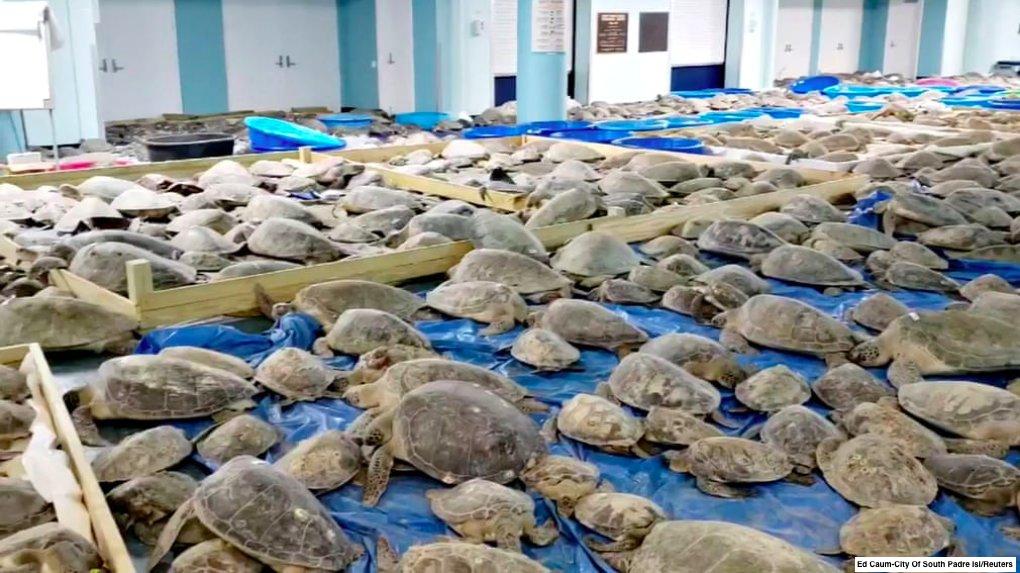 """<span class=""""entry-title-primary""""><span style='color:#ff0000;font-size:14px;'>FRIO NOS ESTADOS UNIDOS </span><br> Pântanos congelados e aquecimento para tartarugas</span> <span class=""""entry-subtitle"""">Voluntários resgataram mais de 3,5 mil tartarugas que corriam risco de morrer pelo frio </span>"""