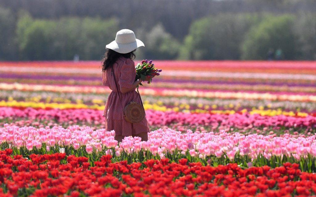 """<span class=""""entry-title-primary"""">Uma explosão de cores na primavera da Europa</span> <span class=""""entry-subtitle"""">Chegada da primavera na Europa significa uma explosão de cores nos campos cobertos de tulipas em países como Alemanha e Holanda. </span>"""