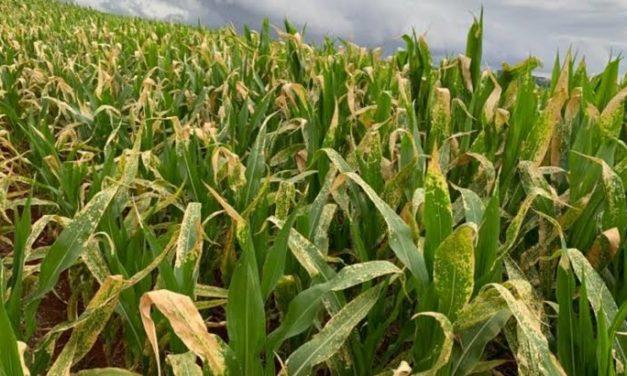 Geada e seca liquidam com o milho segundo safra no Paraná