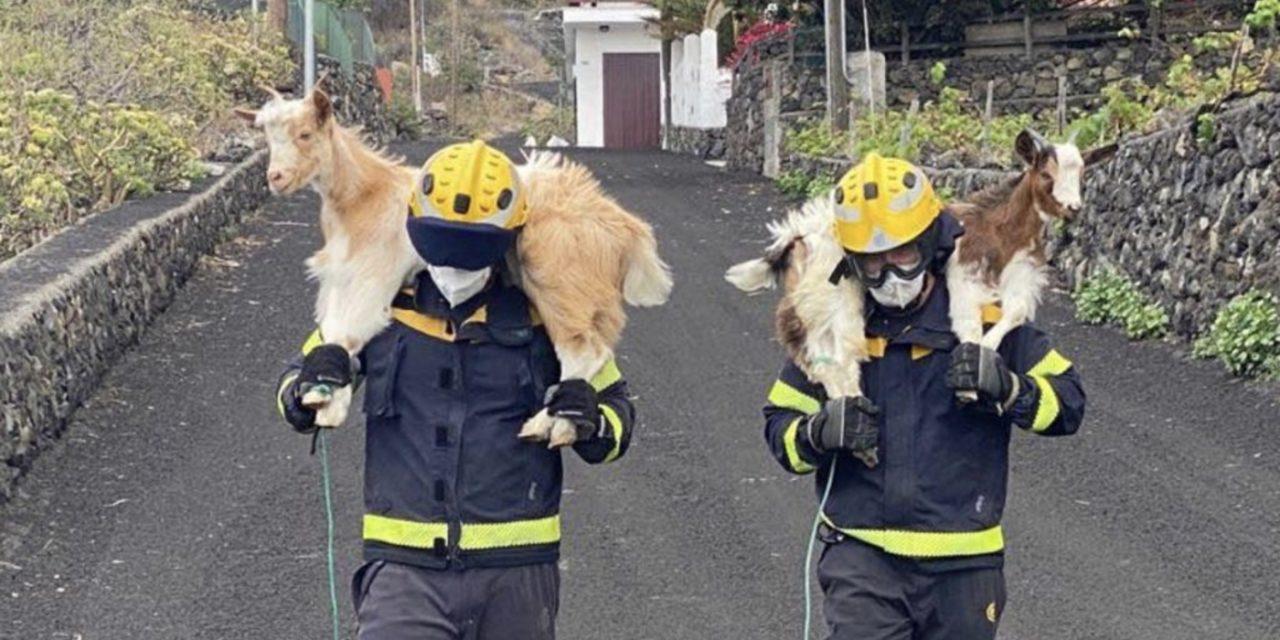"""<span class=""""entry-title-primary"""">Esforço heroico para salvar os animais da erupção do vulcão em La Palma</span> <h2 class=""""entry-subtitle"""">Cachorros, gatos, coelhos, cabras, ovelhas, pássaros, papagaios, tartarugas, galinhas e até furões recebem cuidados após serem resgatados do caminho da lava do vulcão Cumbre Vieja </h2>"""