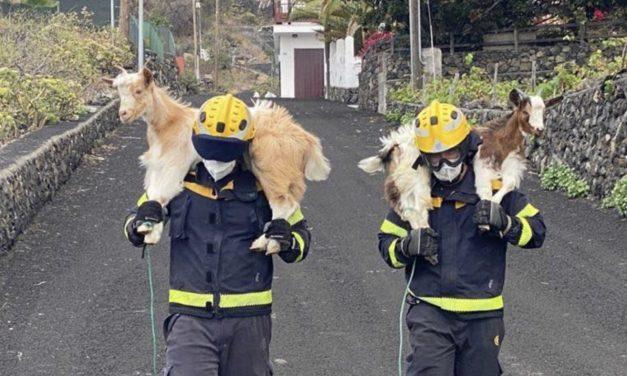 Esforço heroico para salvar os animais da erupção do vulcão em La Palma